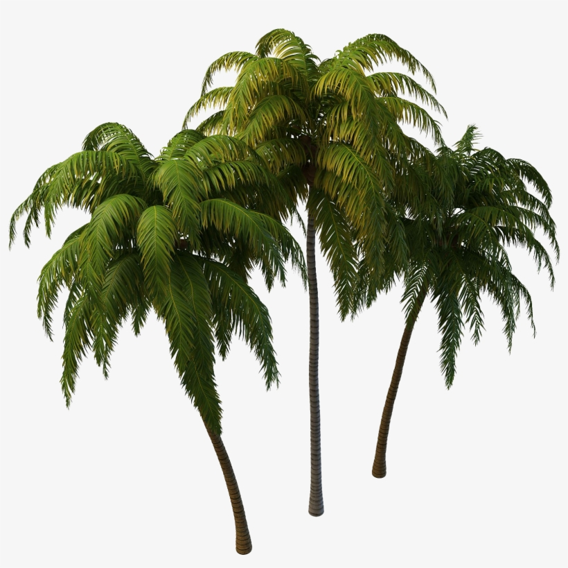 Coconut Tree Png Photos Transparent Coconut Tree Png 1644x1617