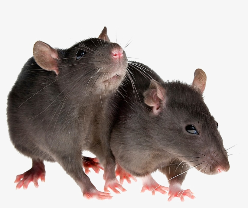 Rat Png Image Transparent Rat Png 1200x800 Png Download Pngkit In the large rats png gallery, all of the files can be used for commercial purpose. rat png image transparent rat png