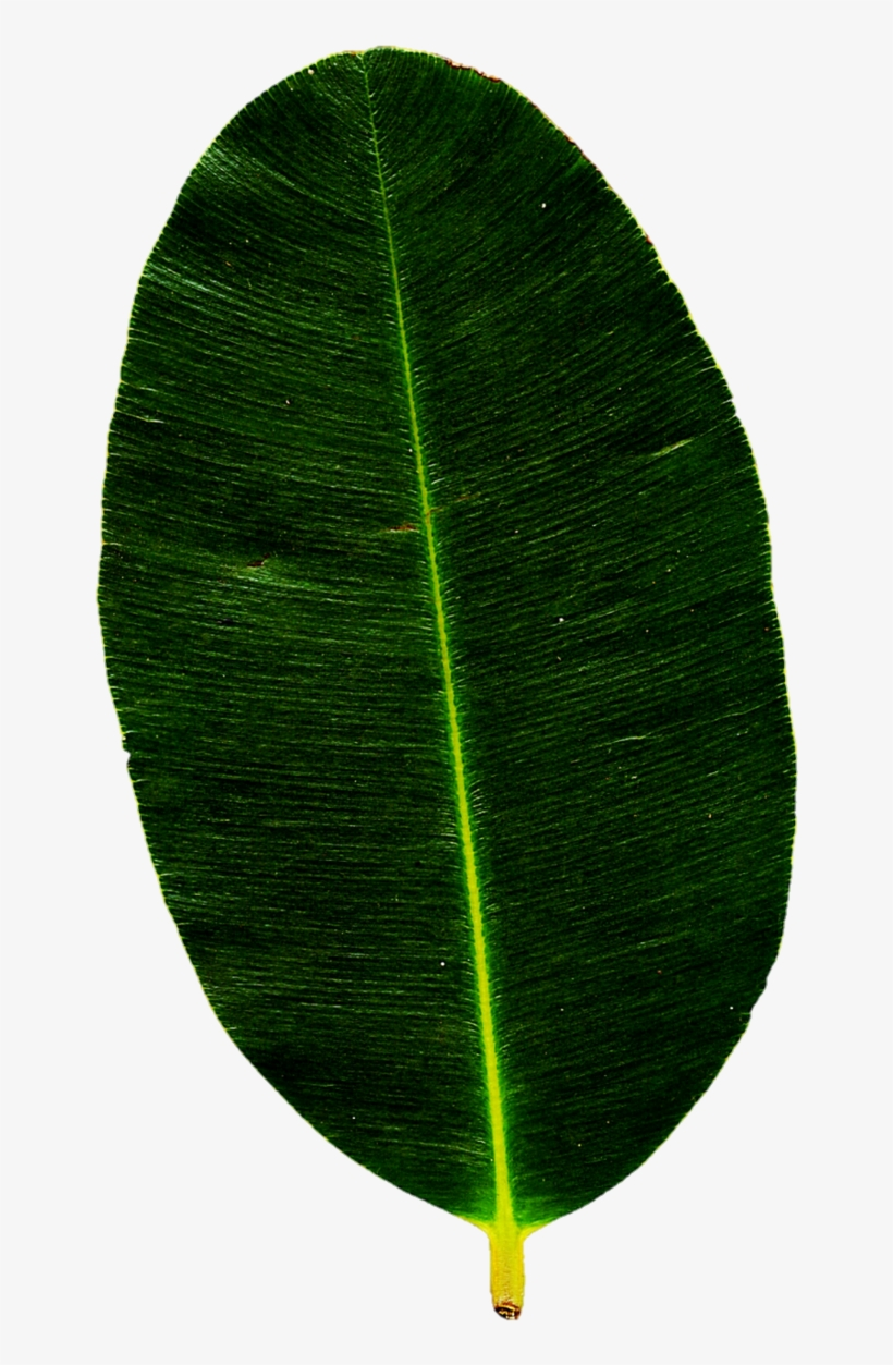 Tropical Green Leaves Png Bay Laurel 666x1198 Png Download Pngkit For a longer life, keep palm fronds out of direct sunlight to maintain the muted green color longer… tropical green leaves png bay laurel