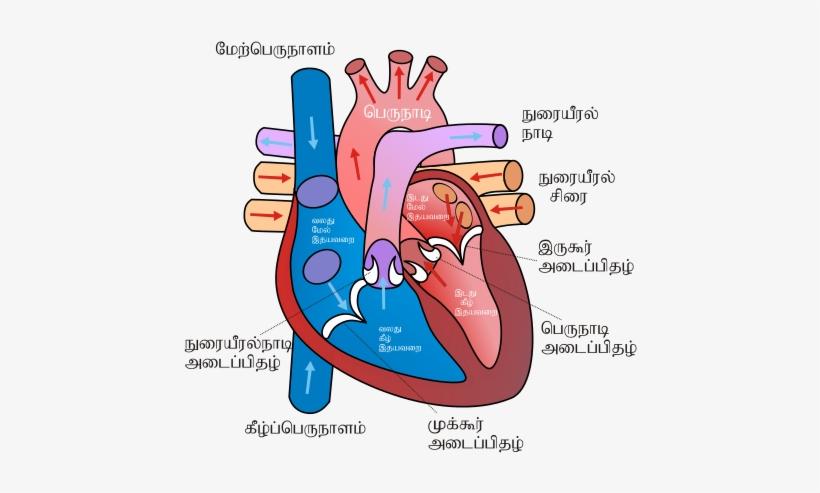 Diagram Of The Human Heart Ta - Human Heart Sketch Diagram ...
