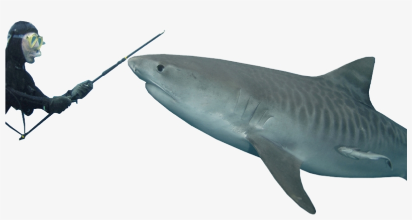 3d1d46cc Tiger Shark Transparent Background - 1170x610 PNG Download - PNGkit