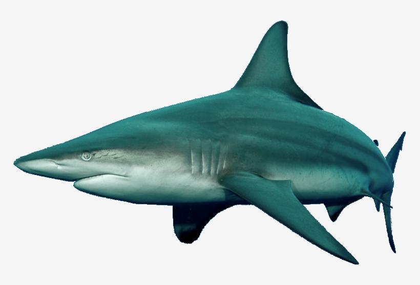 16035675 Blacktip Shark - Tiger Shark - 767x477 PNG Download - PNGkit