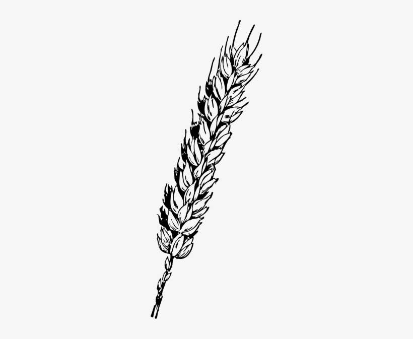Wheat Tied with Ribbon | Thanksgiving Clipart | Thanksgiving clip art, Free  clip art, Clip art