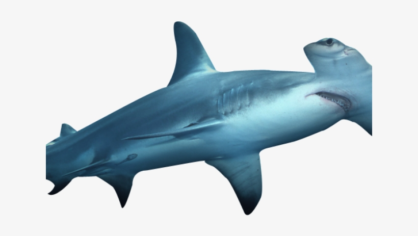 Download Shark Png Transparent Images Hammerhead Shark Png Full Size Png Image Pngkit Shark png cliparts, all these png images has no background, free & unlimited downloads. download shark png transparent images