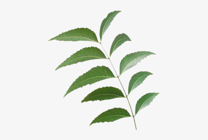 Neem Leaf Neem Tree Leaf Png 500x500 Png Download Pngkit Christmas tree is an essential attribute of christmas and new year. neem leaf neem tree leaf png