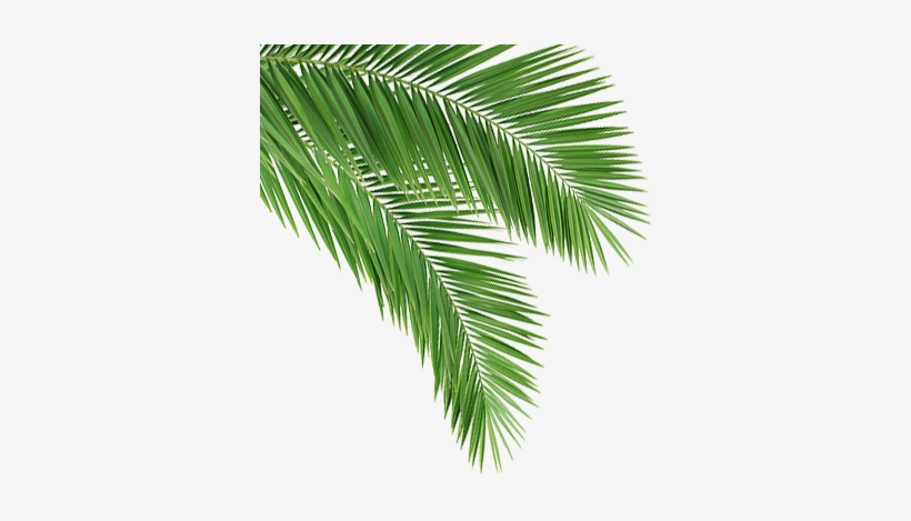 Coconut Leaf Png - Coconut Tree Leaves Png - 352x389 PNG