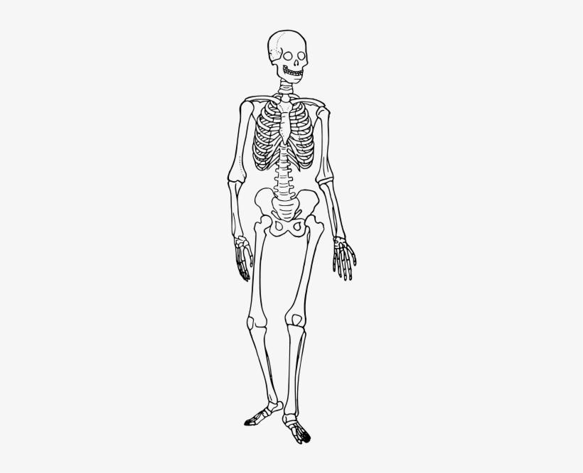 Human Skeleton Diagram Trace - Skeletal System Diagram ...