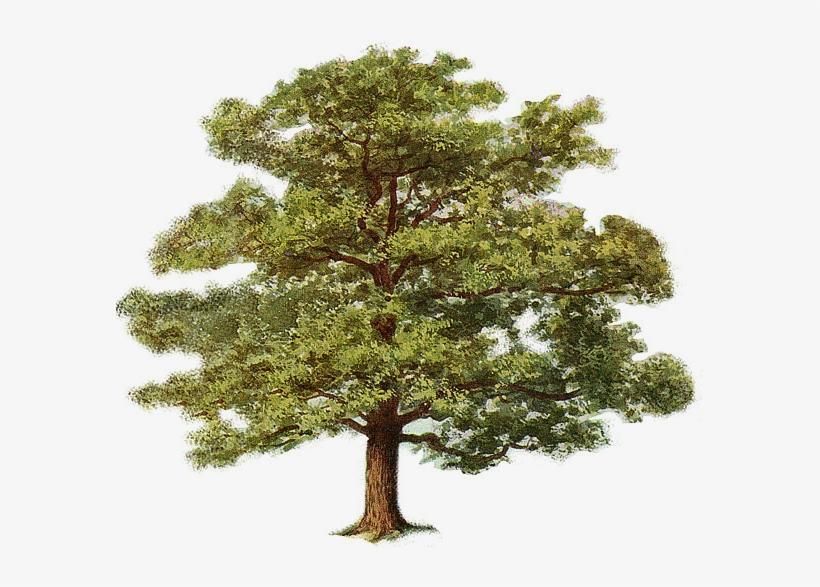 Oak Tree 0 Oak Tree Clipart 587x507 Png Download Pngkit