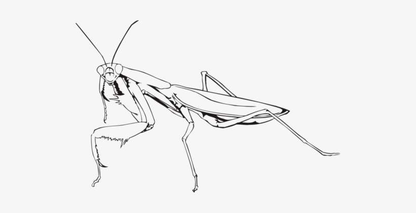 Insect European Mantis Drawing Chevrolet Praying Mantis Black