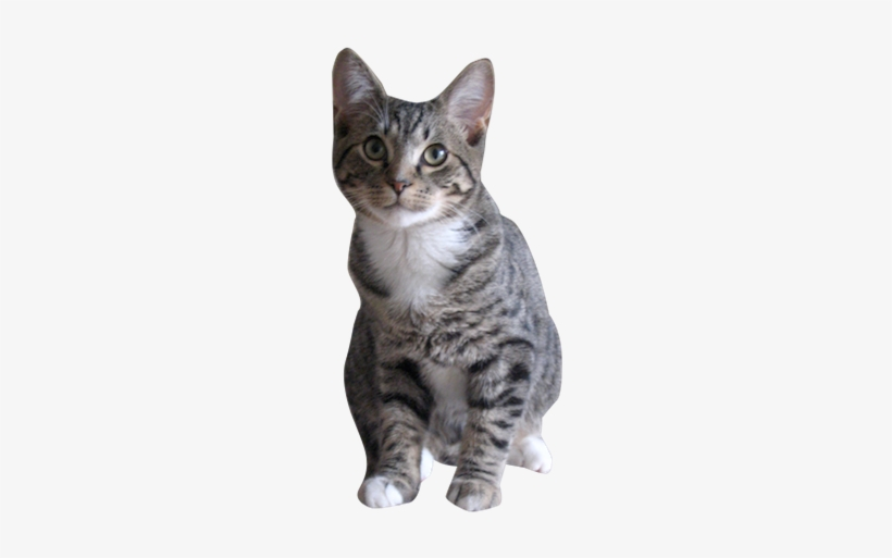 Why Choose A Grey Tabby Cat To Be The Star Of Your Gray Tabby Cat Png 274x444 Png Download Pngkit