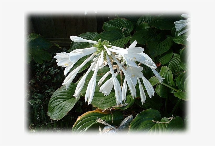 Hosta Plantaginea 638x479 Png Download Pngkit