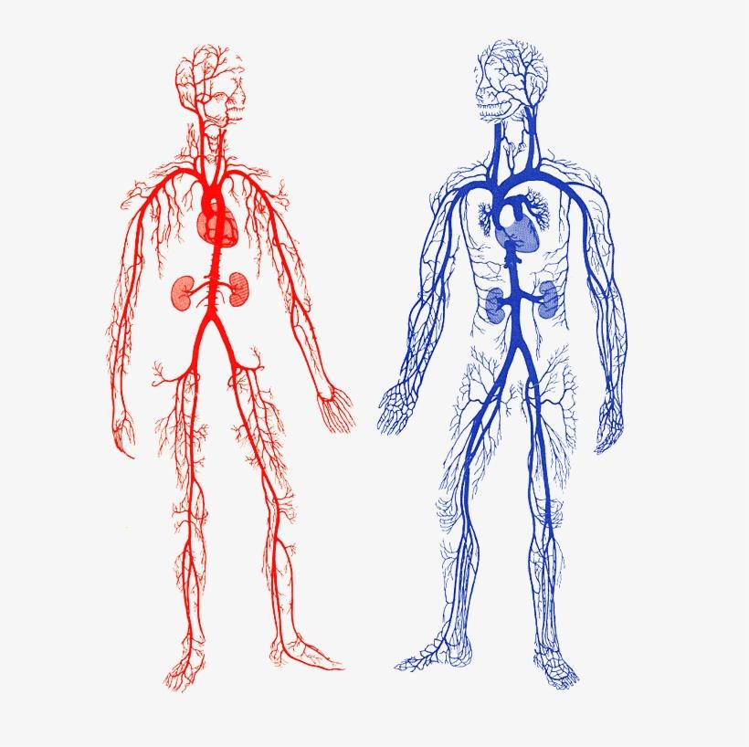 интерьера кровеносная система человека картинки карандашом вот после