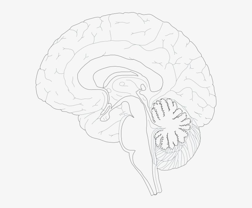 Brain Diagram Unlabeled - Human Anatomy