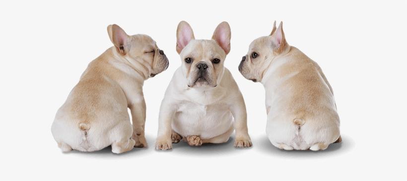 Order Your Puppy Edmonton Alberta Canada - French Bulldog Puppy Png