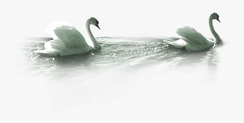 White Duck Png Image Swimming Swan Png 723x500 Png Download Pngkit To created add 32 pieces, transparent duck images of your project files with the. white duck png image swimming swan