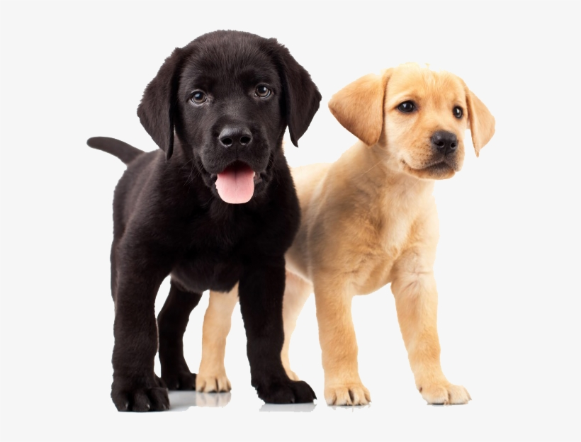 Golden Retriever Puppies Yellow And