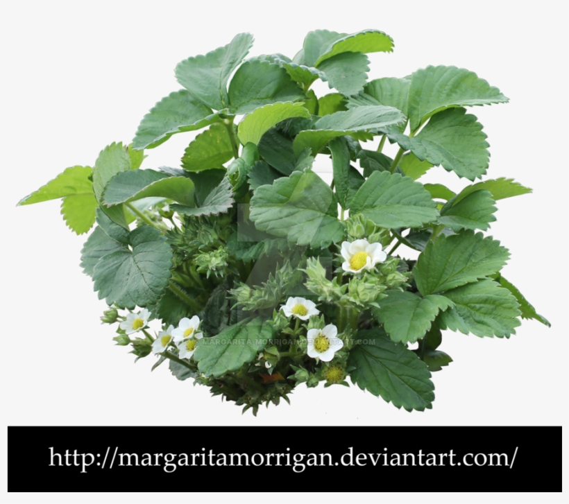 Strawberry Plant Png - Strawberry Bush Transparent - 900x790