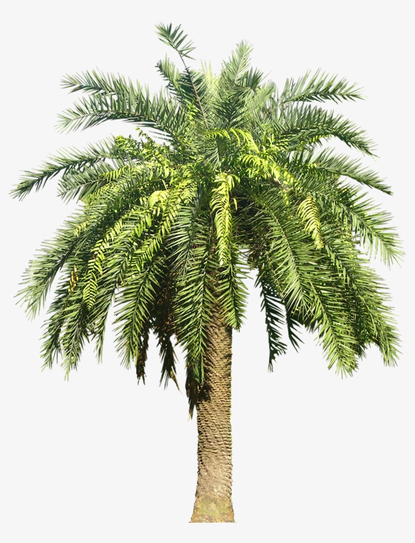 Palm Plant Png - Date Palm Tree Png - 811x1005 PNG Download
