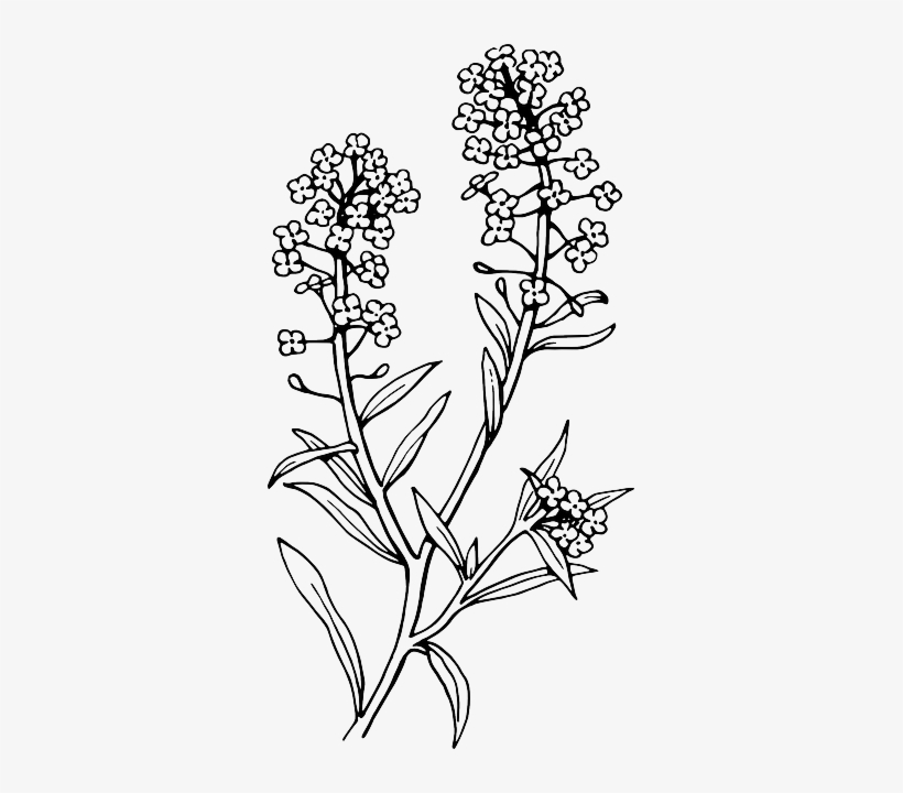 simple lavender drawing - Google Search | Lavender tattoo ... |Lavender Tattoo Outline