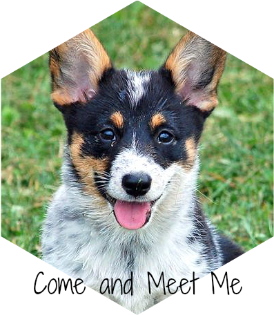 Australian Cattle Dog Corgi Mix Arya