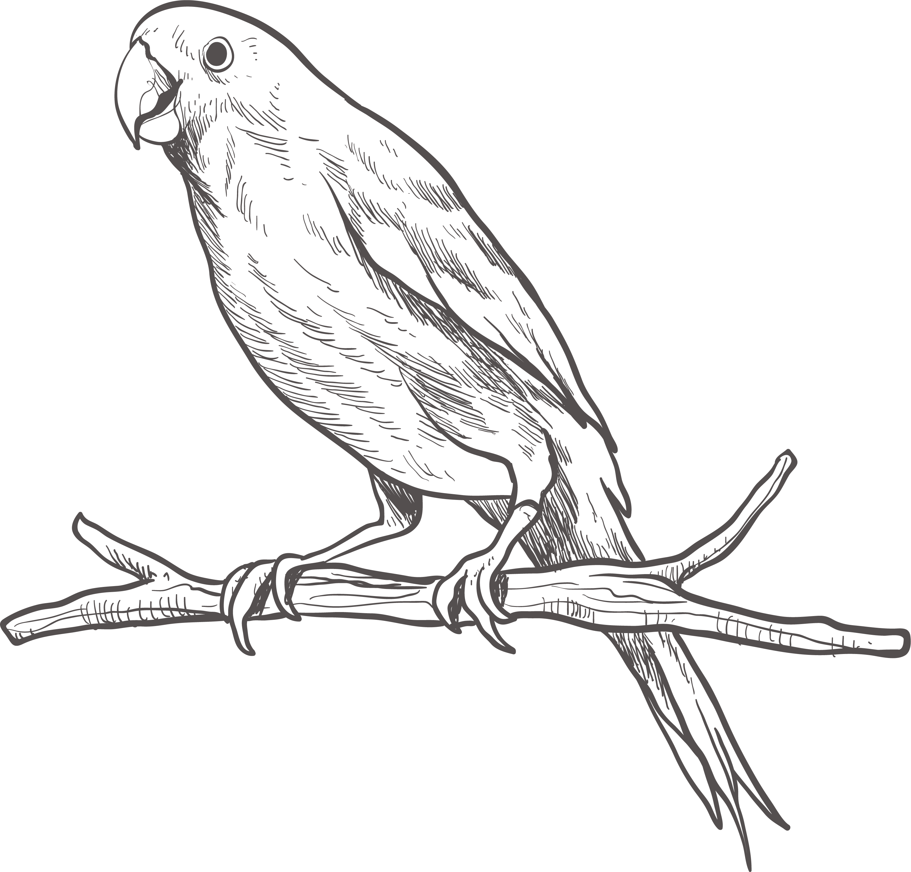Download Parrot Bird Parakeet Sketch Parrot Black And White Png Full Size Png Image Pngkit