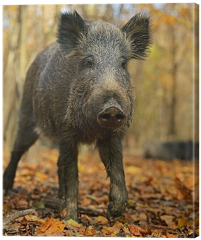 Download Wild Boar - Full Size PNG Image - PNGkit