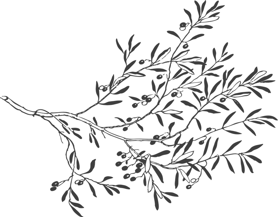 Download Drawn Leaf Free Vector Olive Branch Drawing Full Size Png Image Pngkit