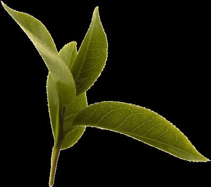 Download Green Tea Leaf Full Size Png Image Pngkit