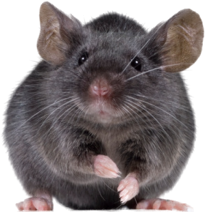 Download Mouse Transparent Black Transparent Background Rat Png Full Size Png Image Pngkit All rat clip art are png format and transparent background. transparent background rat png