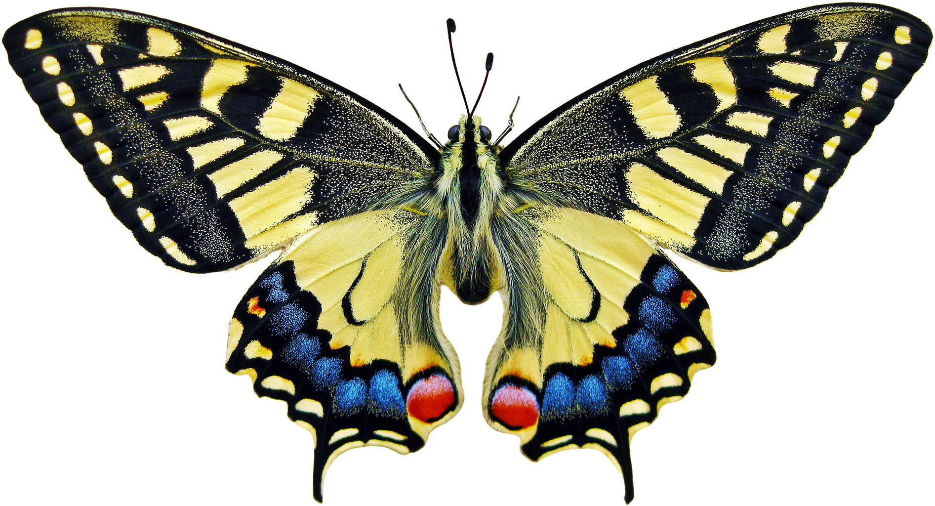 Download Anise Swallowtail Butterfly Meaning - Full Size PNG Image