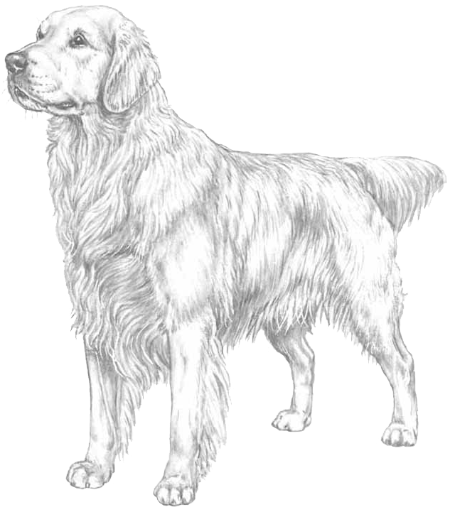 Labrador Retriever coloring page | Free Printable Coloring Pages | 721x633